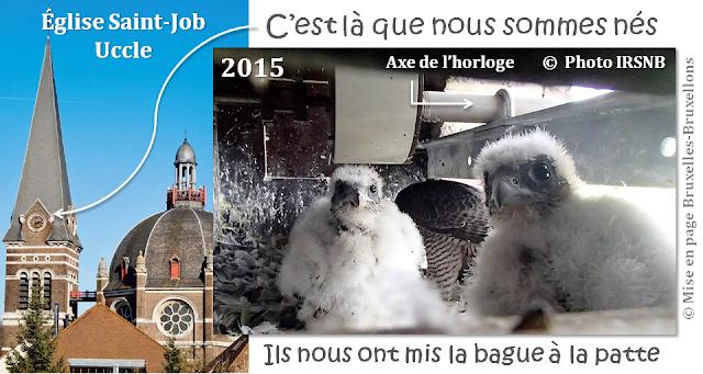 Faucons Pèlerins en Région Bruxelles-Capitale- Eglise Saint-Job (Uccle) Nichée et naissance de 4 fauconneaux pour la première fois en 2015 - Bruxelles-Bruxellons