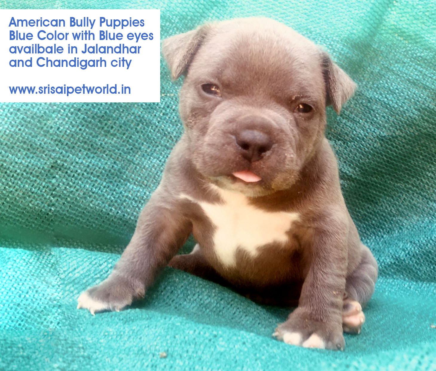 Pitbull Dog Price In Punjab Jalandhar
