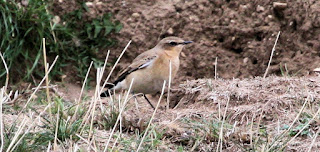 Wheatear & Whinchat