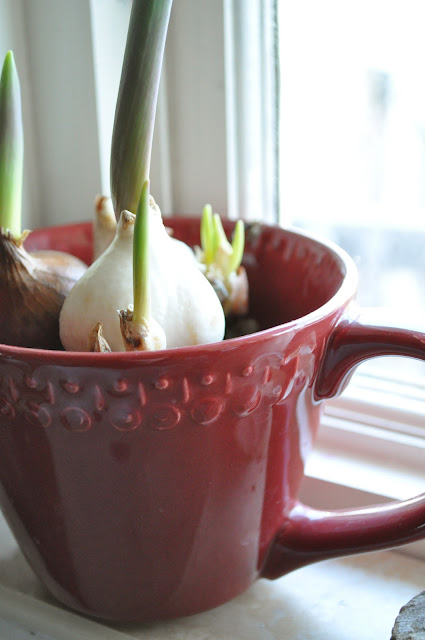 How you can force bulbs for early blooms