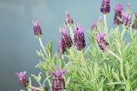 Semillas de amapola y flor de lavanda