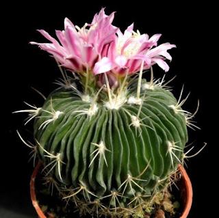 Cactus Echinofossulocactus