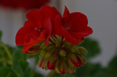 Geranien, geraniums, Мушкато, kurerehad, pelargonioita,