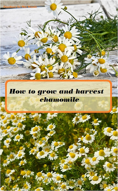 grow and harvest chamomile