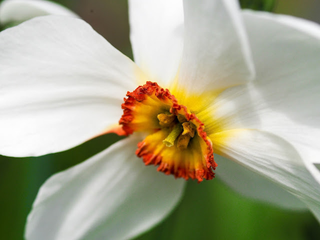 Narcis poeticus recurvus, dichtersnarcis