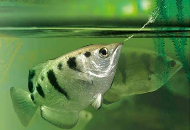Menakjubkan! Ikan Ini Bisa Kenali Wajah Manusia