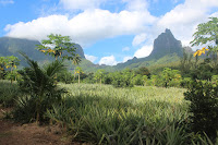 Pineapple Fields in Moorea
