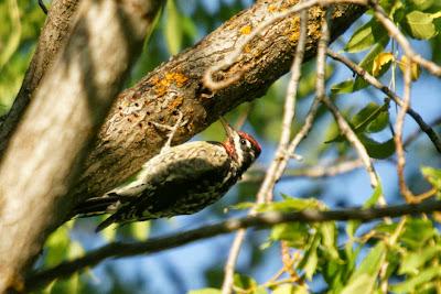 Chupasavia nuca roja Sphyrapicus nuchalis