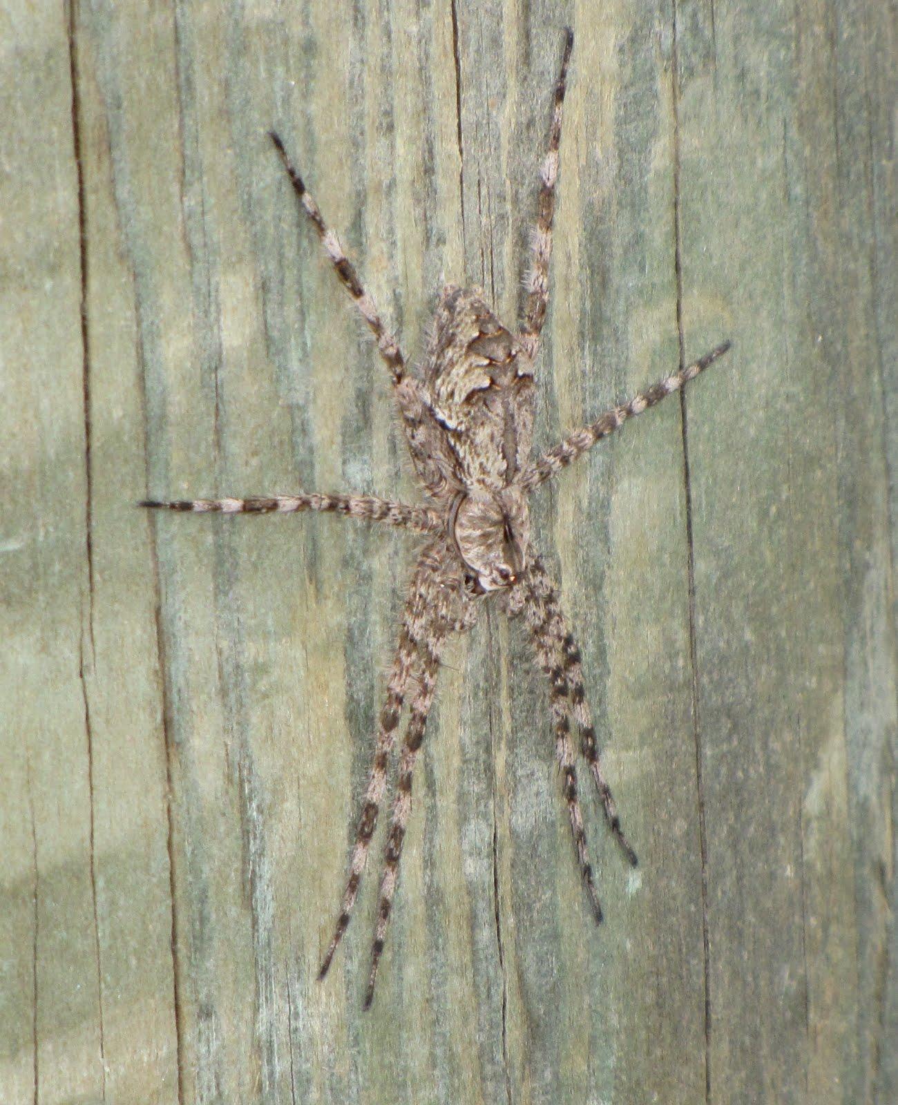 Bug Eric Spider Sunday Whitebanded Fishing Spider