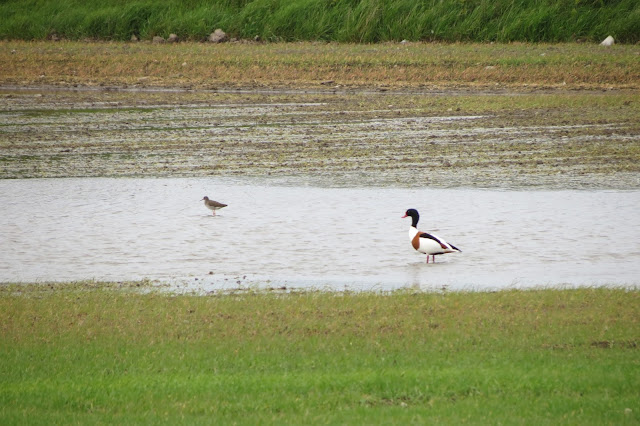 A redshank and a shelduck standing in a pool in a waterlogged field.