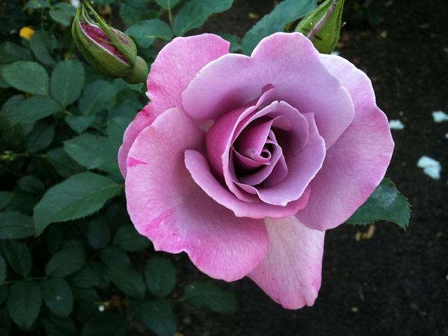 hoa hong tim co y nghia gi