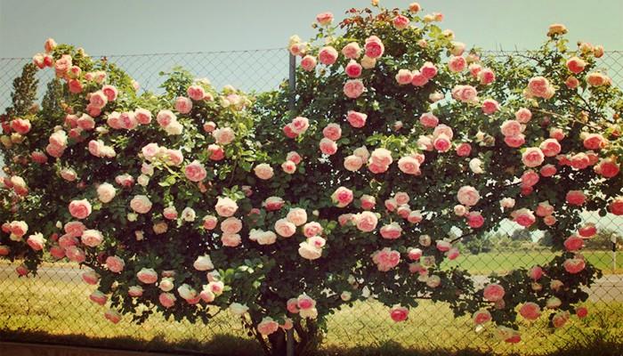 Plantas enredaderas rosal trepador