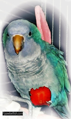 Blue quaker parrot eating strawberries