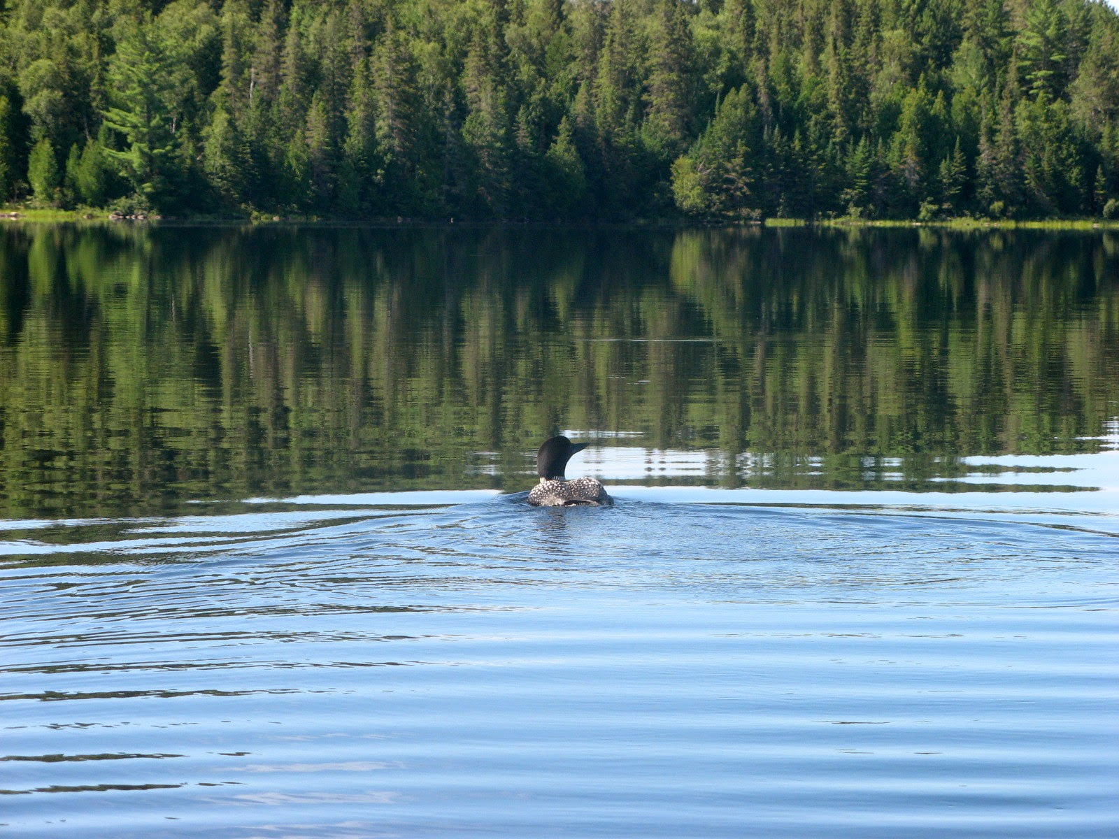 Loon on Booth Lake, Algonquin Park
