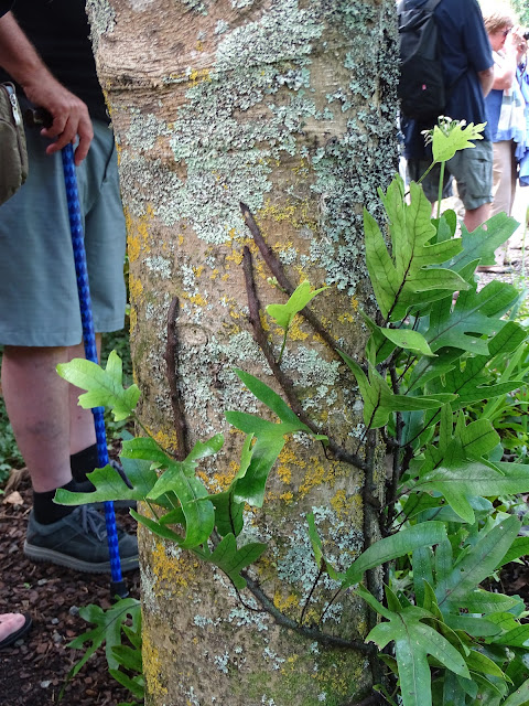Here Another Fern Is Climbing A Trunk