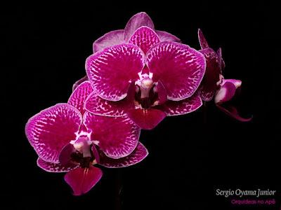Orquídea Mini Phalaenopsis híbrida