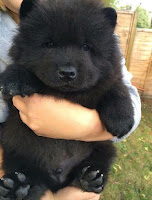 Black Baby Chow Chow