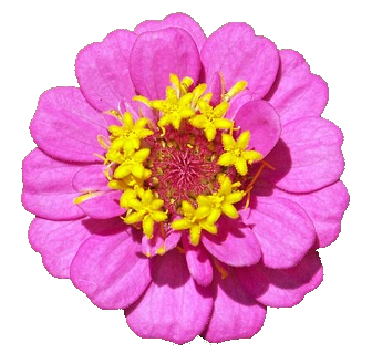 Flores Con Fondo Transparente Flores Zinnia Sin Fondo