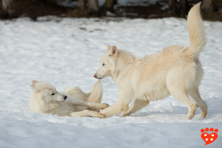 Two young wolves playing in the snow
