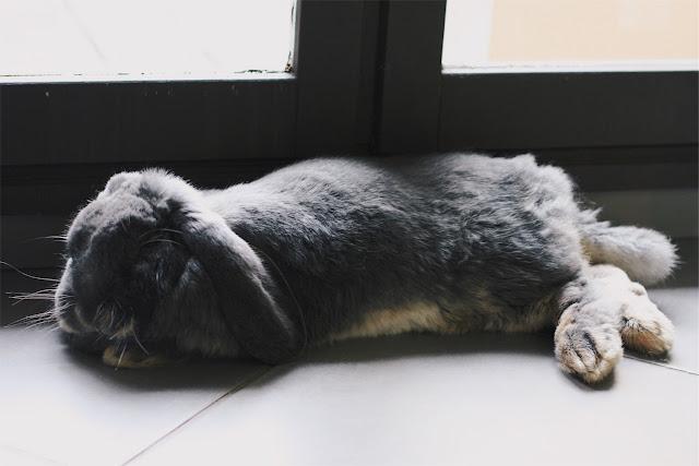 Sherlock lapin bélier geant francais