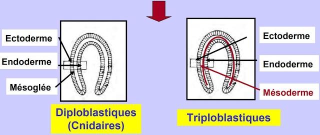 Cours de Biologie Animale SVT S2 - Les Métazoaires Triploblastiques