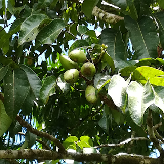 Pili Fruits in Canarium ovatum tree