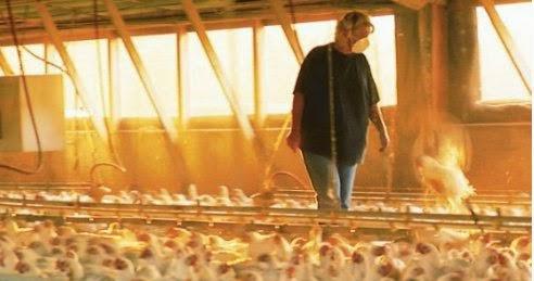 Tavuk Toplama Kampları