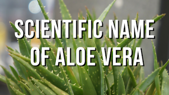 Scientific Name Of Aloe Vera