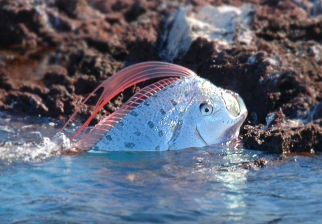 Fish Types: Oarfish Oarfish 56 Ft