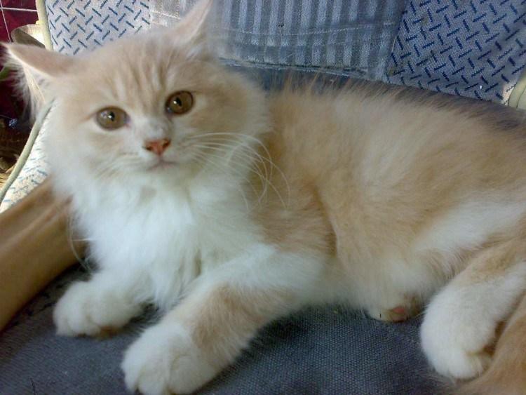 Download 94+  Gambar Kucing Persia Mencon Paling Bagus HD