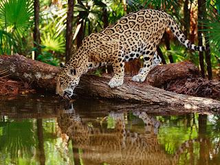 Leopardo tomando agua
