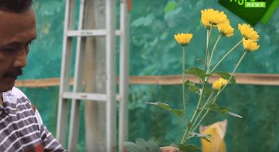 Pemanen Bunga Krisan