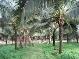 bibit kelapa genjah entok