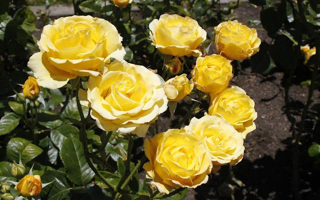 Hoa hồng vàng 3