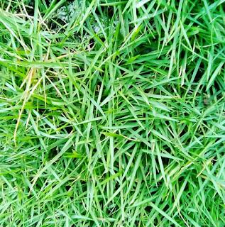 5 Jenis Rumput Taman Yang Cocok Untuk Rumah Bergaya Minimalis - Rumput Jepang