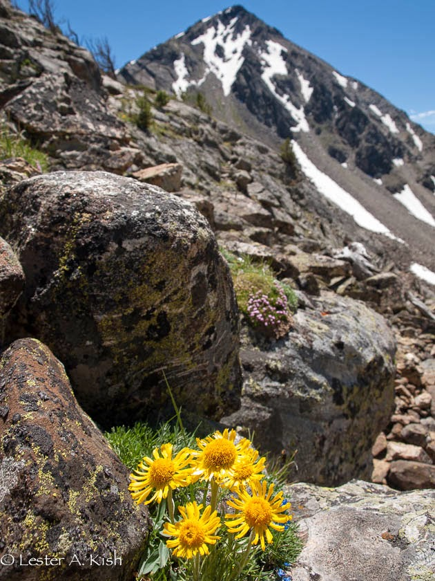 Alpine sunflower, Tobacco Root Mountains, Montana
