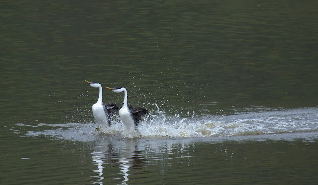 Courtship dance of Western Grebe
