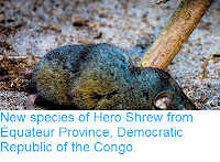 http://sciencythoughts.blogspot.co.uk/2013/09/new-species-of-hero-shrew-from-equateur.html