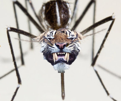 mosquito tigre, pinterest