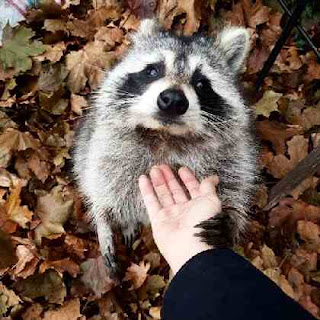 Raccoon off buddy
