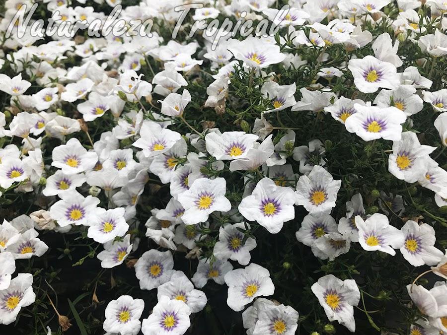 Cultivar del género Nierembergia llamado ´Luna` desarrollado por el Instituto Nacional de Tecnología Agropecuaria (INTA) de Argentina