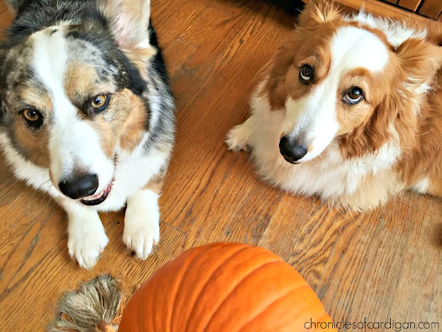 2 corgis with expressive eyes and pumpkin
