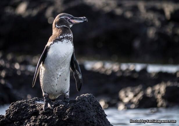 Penguin Galapagos (Spheniscus Mendiculus)