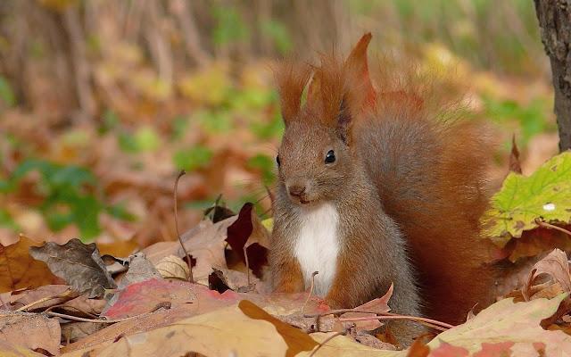 Eekhoorn tussen de herfstbladeren in de herfst