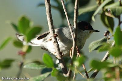 Tallarol capnegre (Sylvia melanocephala)