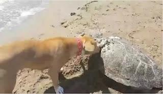 Πύργος: Σκύλος θάβει νεκρή θαλάσσια χελώνα  βίντεο