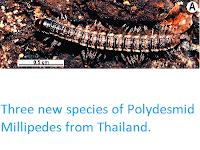 https://sciencythoughts.blogspot.com/2015/01/three-new-species-of-polydesmid.html