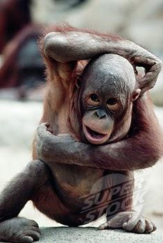 Cute Gorilla Wallpapers Funny Gorilla Pics Funny Animal