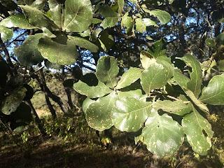 Quercus rugosa, Roble, Netleaf oak