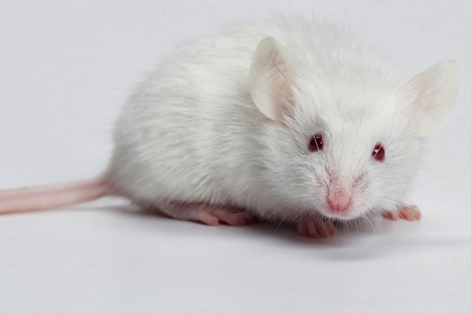 White mouse wallpaper - beautiful desktop wallpapers 2014